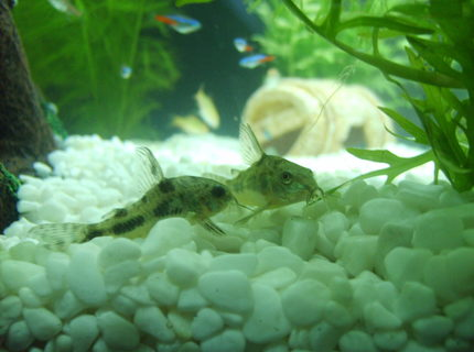 freshwater fish - corydoras paleatus - peppered cory cat stocking in 25 gallons tank - My peppered Corys Salt and Peppa sitting together peacefully