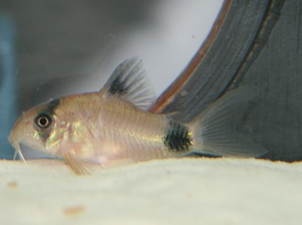 freshwater fish - corydoras panda - panda cory cat stocking in 150 gallons tank - Panda Cory