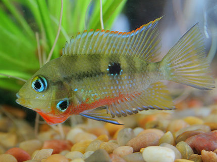 freshwater fish - thorichthys meeki - firemouth cichlid stocking in 45 gallons tank - Firemouth Cichlid