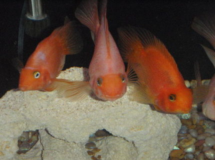 freshwater fish - heros severus x amphilophus citrinellum - blood parrot stocking in 55 gallons tank - three of the smaller kids