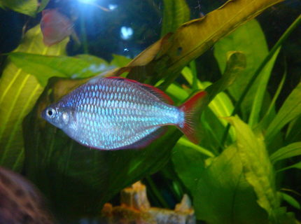 freshwater fish - melanotaenia praecox - praecox rainbow stocking in 30 gallons tank - Praecox Rainbow