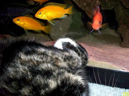 freshwater fish - pseudotropheus estherae - red zebra cichlid stocking in 55 gallons tank - Cat vs Fish.  Every time my cat lays down next to the tank my Red Zebra male tries to scare her off by charging the glass and posturing at her.