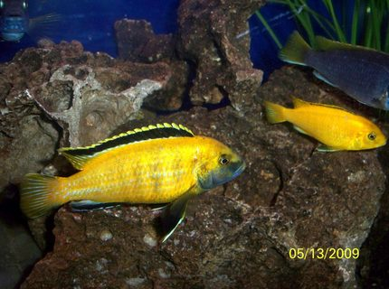 freshwater fish - labidochromis caeruleus - electric yellow cichlid stocking in 55 gallons tank - Electric Yellow Lab (Labidochromis caeruleus) Male and one of his females.