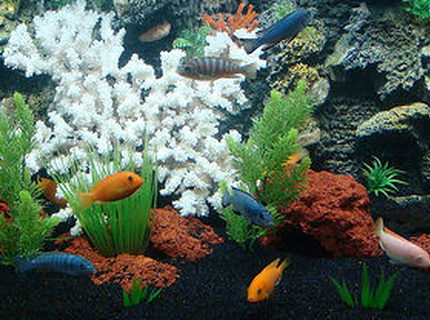 freshwater fish - pseudotropheus estherae - red zebra cichlid stocking in 90 gallons tank - 90 GALLON AFRICAN CICHLID TANK