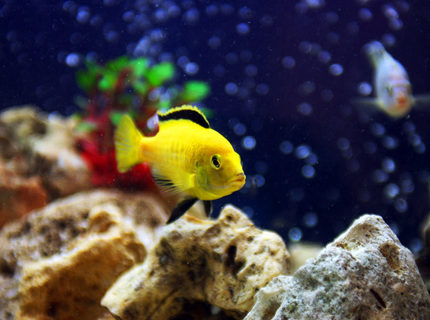 freshwater fish - labidochromis caeruleus - electric yellow cichlid stocking in 85 gallons tank - Pic of my male Electric yellow cichlid - Labidochromis caeruleus