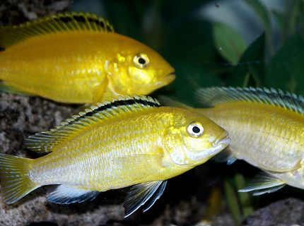freshwater fish - labidochromis caeruleus - electric yellow cichlid stocking in 55 gallons tank - Pretty Electric Yellow Labs