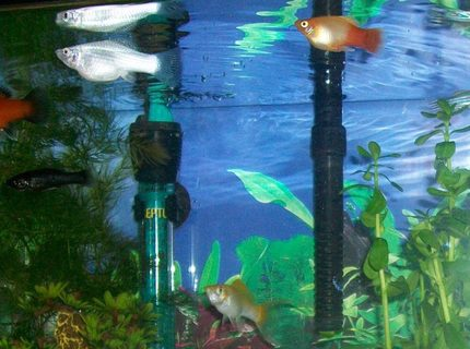 freshwater fish - xiphophorus maculatus - red wag platy stocking in 10 gallons tank - The whole gang. well most of them
