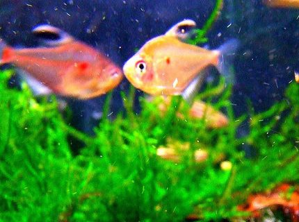 freshwater fish - hyphessobrycon erythrostigma - bleeding heart tetra stocking in 11 gallons tank - One of my Bleeding Heart tetras that may look dull in the shop but trust me, these beauties are the milk in your tea