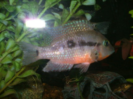 freshwater fish - thorichthys meeki - firemouth cichlid stocking in 29 gallons tank - picture of my male firemouth