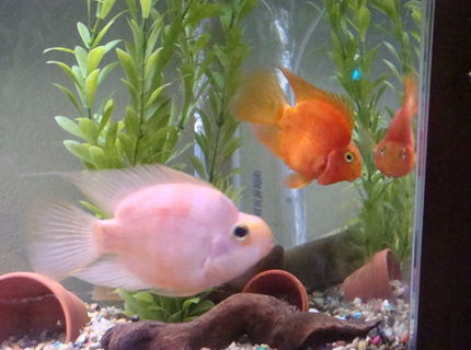 freshwater fish - heros severus x amphilophus citrinellum - blood parrot stocking in 26 gallons tank - Blood Parrot Cichlid