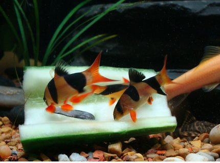 freshwater fish - botia macracantha - clown loach stocking in 40 gallons tank - Clown Loaches