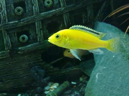 freshwater fish - labidochromis caeruleus - electric yellow cichlid stocking in 90 gallons tank - One of my Labidochromis caeruleus