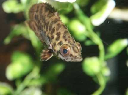 freshwater fish - ctenopoma acutirostre - leopard ctenopoma stocking in 75 gallons tank - leaf fish