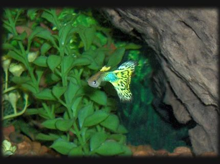 freshwater fish - poecilia reticulata - lemon cobra guppy stocking in 30 gallons tank - Guppy