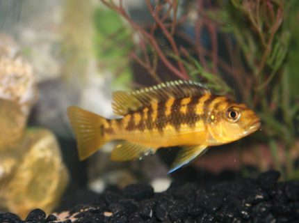 freshwater fish - pseudotropheus crabro - bumblebee cichlid stocking in 55 gallons tank - Bumble Bee