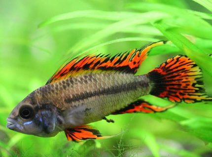 Rated #2: Freshwater Fish - Apistogramma Cacatuoides - Double Full Red Cockatoo Cichlid Stocking In 40 Gallons Tank - Apistogramma Cacatuoides Double Red