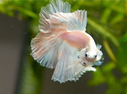 Rated #8: Freshwater Fish - Betta Splendens - Halfmoon Betta Stocking In 50 Gallons Tank - opaque  halfmoon betta