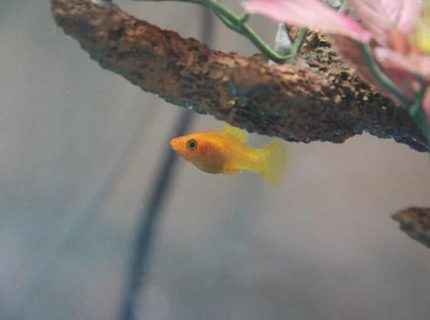 freshwater fish - xiphophorus maculatus - platy stocking in 35 gallons tank - Platy