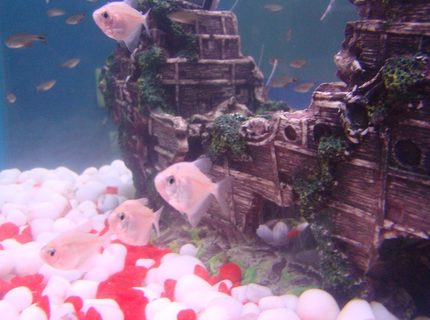 Albino Black Widow Tetras