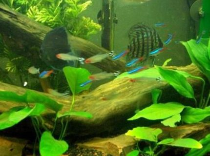 some neon and rummy nose tetras with discus in background
