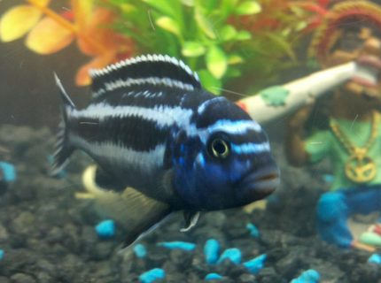 freshwater fish - melanochromis cyaneorhabdos - maingano cichlid stocking in 55 gallons tank - African Cichlid