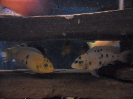 freshwater fish - labeotropheus fuelleborni - fuelleborni cichlid, orange blossom stocking in 100 gallons tank - hybred cichlids.