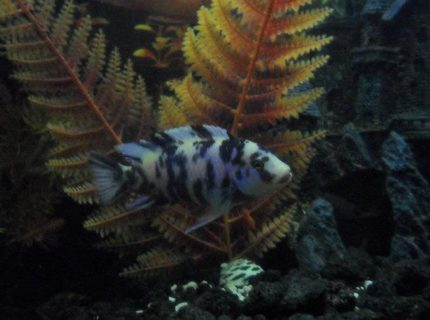 freshwater fish - labeotropheus fuelleborni - fuelleborni cichlid, orange blossom stocking in 100 gallons tank