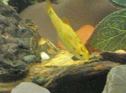 freshwater fish - puntius ticto - ticto barb stocking in 12 gallons tank - one of the golden barbs