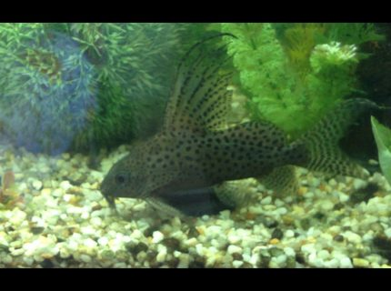 freshwater fish - synodontis eupterus - synodontis eupterus catfish stocking in 60 gallons tank - Feather fin catfish