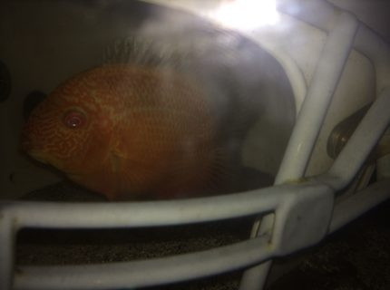 Gold Red Spotted Severum hiding in football helmet