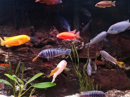 freshwater fish stocking in 90 gallons tank - African Cichlid rainbow.