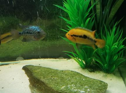 freshwater fish stocking in 125 gallons tank - Rainbow Cichlid (male)