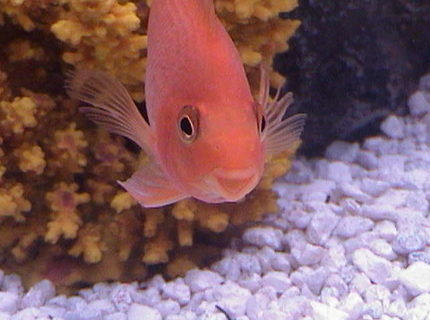 freshwater fish - heros severus x amphilophus citrinellum - blood parrot stocking in 75 gallons tank - Blood parrot