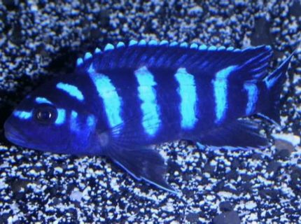 Pseudotropheus demasoni a type of african cichlid which originates from Lake Malawi Typically small in size 3 but large in aggression especially towards others of the same species