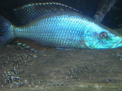 "freshwater fish - dimidiochromis compressiceps - compressiceps cichlid stocking in 180 gallons tank - Dimidiochromis compressiceps (also known as the 'malawi eye biter'. This male is a little over 6"" and will grow about another 5 inches."