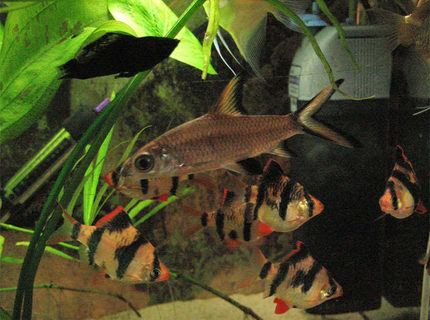 freshwater fish - balantiocheilus melanopterus - bala shark stocking in 26 gallons tank - Tricolour shark, Tigers, molly etc