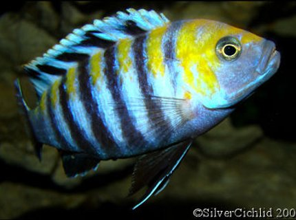 freshwater fish - cynotilapia afra - afra cichlid stocking in 180 gallons tank - Cynotilapia afra Cobue