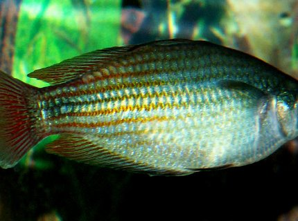 freshwater fish - melanotaenia splendida - australian rainbow stocking in 110 gallons tank - Austrailian Rainbow