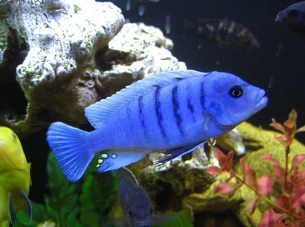 freshwater fish - cynotilapia afra - afra cichlid stocking in 125 gallons tank - Blue Reef !!!