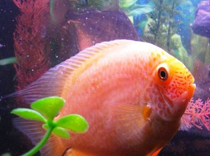"freshwater fish - heros serverus - gold severum stocking in 55 gallons tank - This is my Golden Severum.  She is about 4-5"".  Kinda a cool picture because she really looks round.  You can see where the nickname, ""Poor Man's Discus"" comes from."
