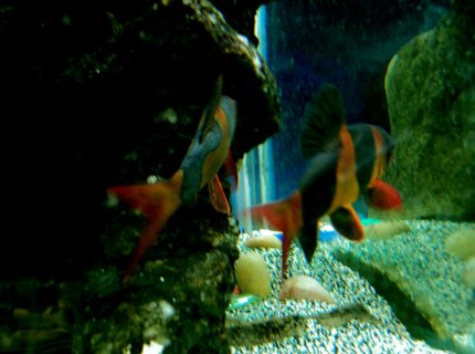 freshwater fish - botia macracantha - clown loach stocking in 90 gallons tank - couple a clown loaches