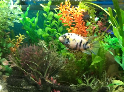 freshwater fish stocking in 44 gallons tank - Convict Cichlid - Female i think