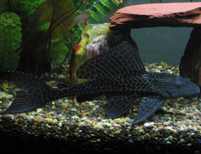 freshwater fish - glyptoperichthys gibbiceps - sailfin pleco (l-83) stocking in 55 gallons tank - pl*co