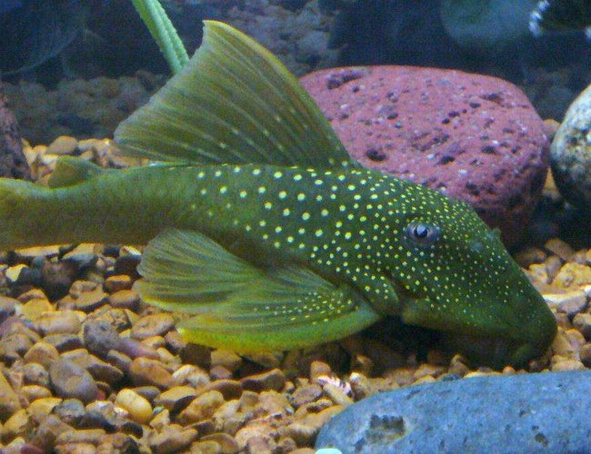 freshwater fish - baryancistrus demantoides - green phantom pleco stocking in 55 gallons tank - green phantom