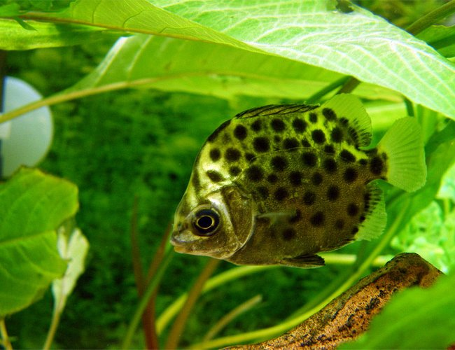 freshwater fish - scatophagus argus - ruby scat stocking in 32 gallons tank - Green Scat