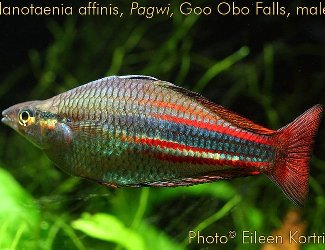 "freshwater fish - melanotaenia affinis - new guinea rainbowfish stocking in 75 gallons tank - Melanotaenia affinis (New Guinea rainbowfish) male, var Pawgi, Goo Obo Falls locale, 4"" TL, 2 years old."