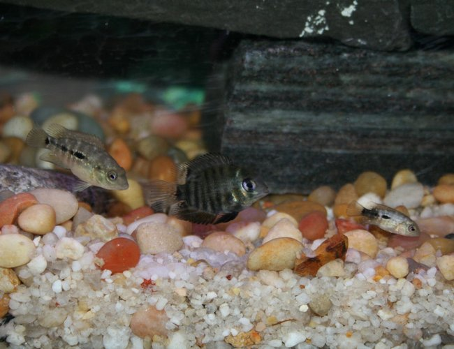 freshwater fish - herichthys carpinte - green texas cichlid stocking in 55 gallons tank - Baby texas cichlid chasing a baby green severum chasing a baby texas cichlid! choo choo!!