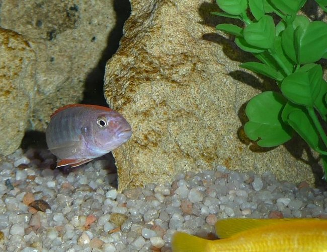 freshwater fish - tropheops sp. red cheek - red cheek stocking in 50 gallons tank - Tropheops red cheek