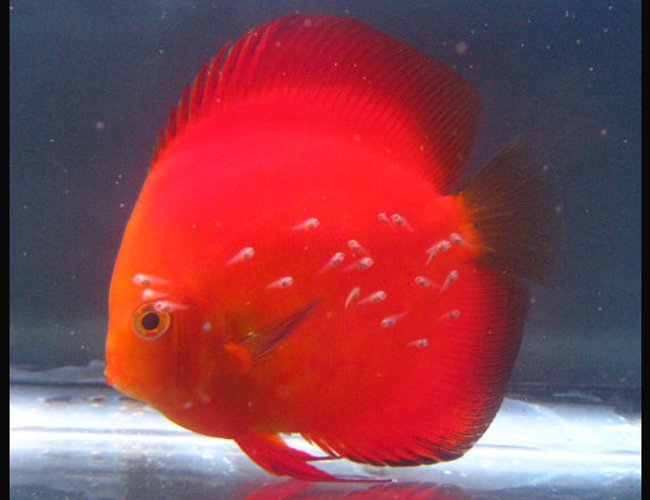 view all top ten freshwater fish - freshwater fish - symphysodon aequifasciatus - golden melon discus stocking in 127 gallons tank - Discus Golden Melon with fry