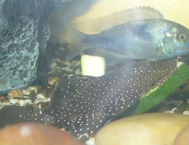 freshwater fish - parancistrus sp. - peppermint plecostomus (l-31) stocking in 100 gallons tank - Peppermint Bristlenose having a munch on some zucchini and Blue Dolphin